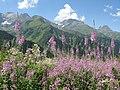 Epilobium alpinum Alpine Willowherb ალპური თხაწართხალა.jpg