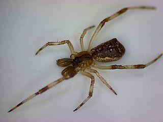 <i>Episinus</i> Genus of spiders