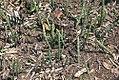 Equisetum hyemale 16zz.jpg
