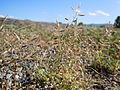 Eragrostis minor (6123799117).jpg