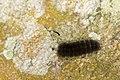 Erebidae (36956816313).jpg
