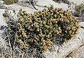 Ericameria cuneata 3.jpg