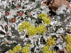 Eriogonum cinereum leaves and inflorescences2003-04-08.jpg