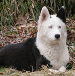 Eska - Not Fancy Kennel - Yakutian Laika.png