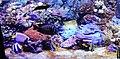 Esplosione di colori nell'acquario. Ph Ivan Stesso.jpg