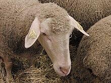 qu'est ce que la laine merinos
