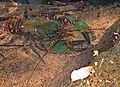 Euastacus spinifer.jpg