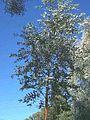 Eucalyptus-melanophloia2.jpg