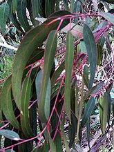 Follas de eucalipto azul (esquerda) e eucalipto vermello (dereita).