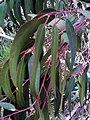 Eucalyptus camaldulensis Leaves DehesaBoyaldePuertollano.jpg