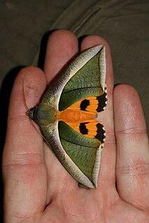 <i>Eudocima salaminia</i> Species of moth
