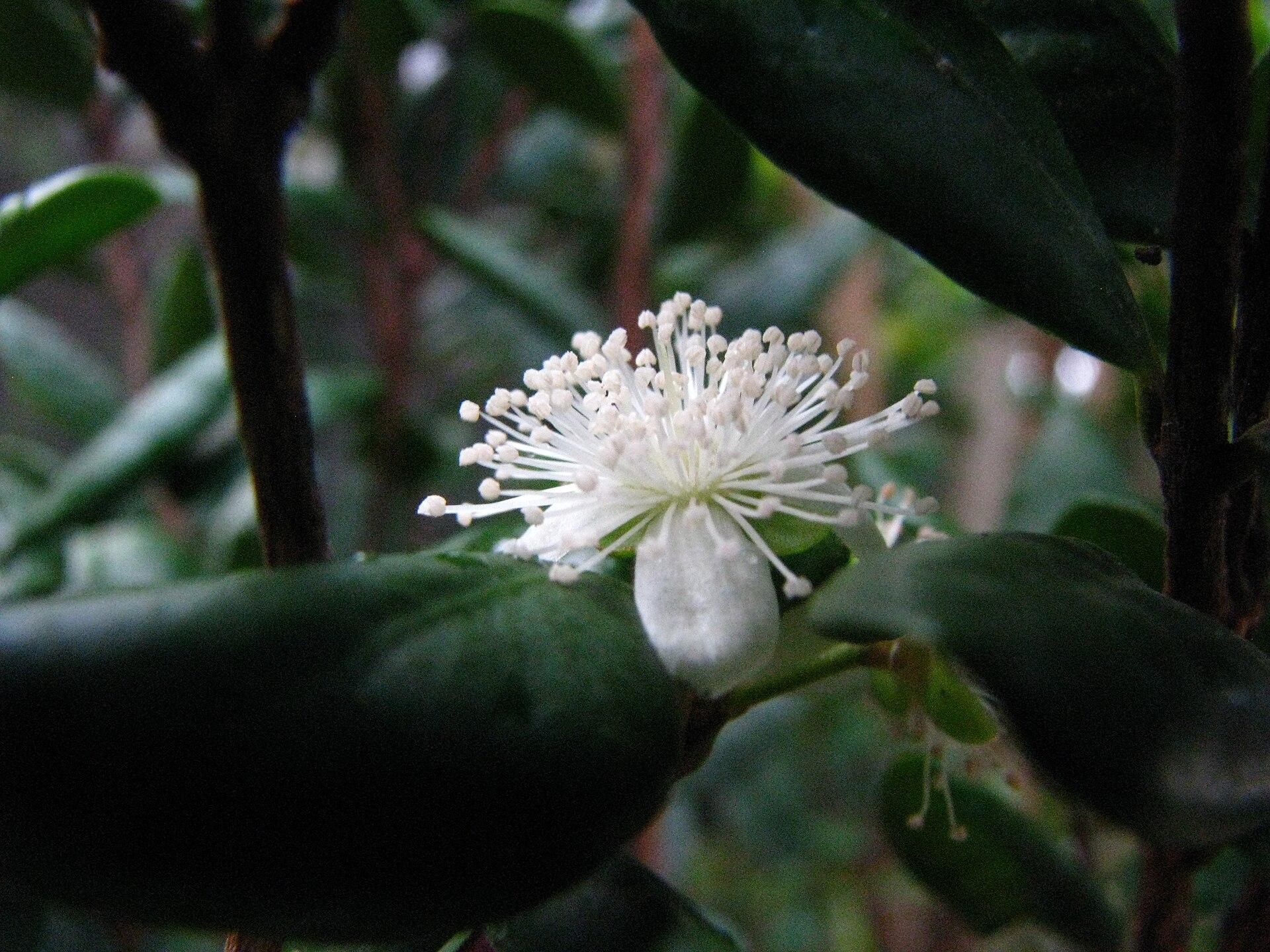 Eugenia koolauensis - Wikipedia