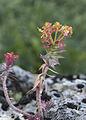 Euphorbia - Sütleğen 04.jpg