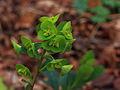 Euphorbia amygdaloides var. robbiae 01.JPG