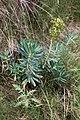Euphorbia characias-Euphorbe characias-20160417.jpg