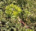 Euphorbia helioscopia01.jpg