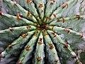 Euphorbia horrida 魁偉玉 - panoramio.jpg