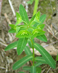 Euphorbia hyberna 1