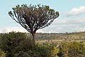 Euphorbia ingens Tarangire 2012 05 28.jpg