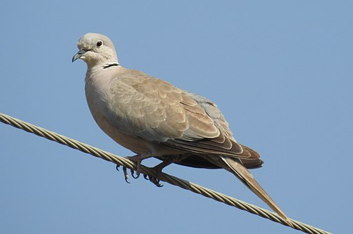 Eurasian Collared Dove Streptopelia decaocto by Dr. Raju Kasambe DSCN2357 (2)