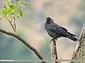 Eurasian Jackdaw (Corvus monedula) (45340668461).jpg
