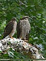 Eurasian Sparrowhawk (Accipiter nisus) (35634382462).jpg