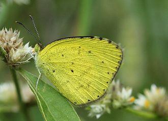 Eurema brigitta - Image: Eurema brigitta from bangalore