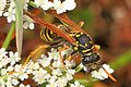 European Paper Wasp - Polistes dominula, St. Stephen's Church, Saanichton, British Columbia.jpg