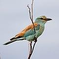 European roller, Coracias garrulus at Kruger National Park. (43935453980).jpg