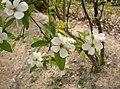 Exochorda racemosa1.jpg