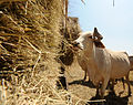 FEMA - 38645 - Displaced cattle get hay.jpg