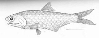 <i>Anchovia</i> Genus of fishes
