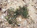 Fagonia cretica Sebseh 02 a.jpg