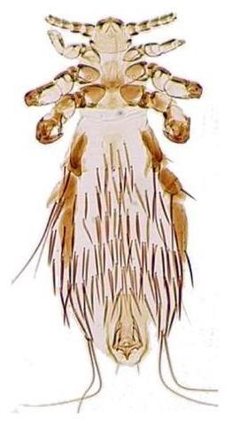 Fahrenholzia pinnata