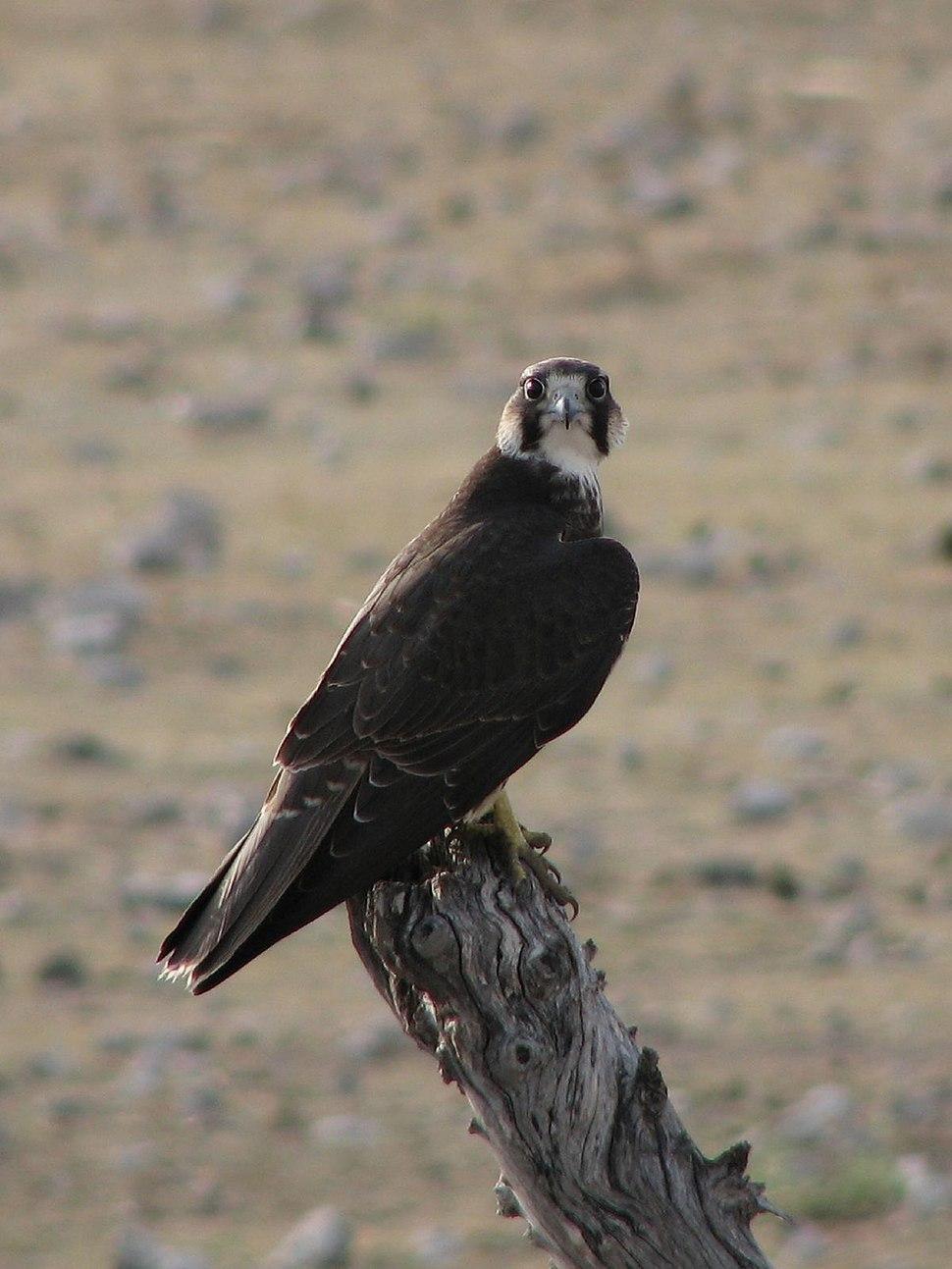 Falco biarmicus Etosha