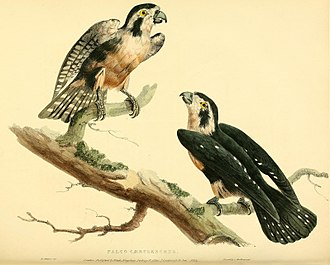 Black-thighed falconet - Image: Falco fringillarius Pelettier Hullmandel 1822