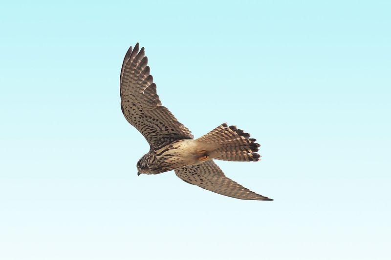 File:Falco tinnunculus 2.jpg