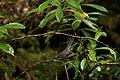Fauna de Tasmania04.JPG