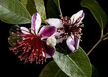 fleur du feijoa