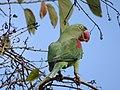 Female Alexandrine Parakeet on a Kachnar Tree 02.jpg