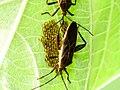 Female Coreid bug laying eggs.jpg
