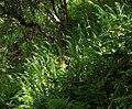 Ferns by the Dart - geograph.org.uk - 843390.jpg