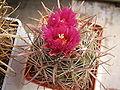 Ferocactus fordii.JPG