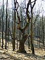 Festive Oak Tree.jpg