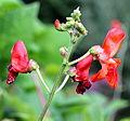 Feuerbohne (Phaseolus coccineus) 01.jpg