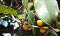 Ficus Microcarpa 05.JPG