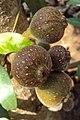Ficus auriculata 02a.JPG