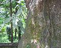 Ficus exasperata bark and leaves.jpg