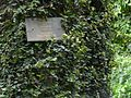 Ficus repens (2771054045).jpg