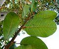 Ficus thonningii, loof onderkant, Waterberg.jpg